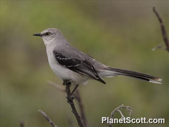 Tropical Mockingbird (Mimus gilvus)