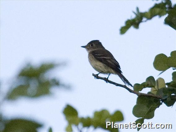 Least Flycatcher (Empidonax minimus)