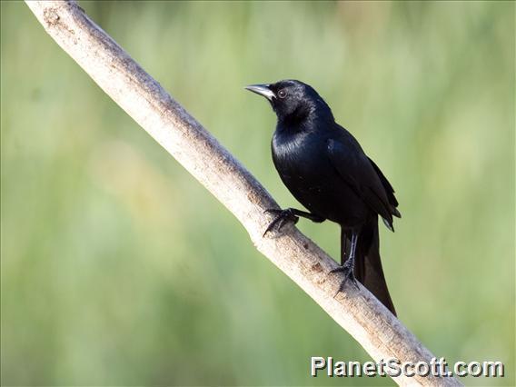 Melodious Blackbird (Dives dives)
