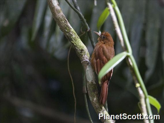 Ruddy Woodcreeper (Dendrocincla homochroa)