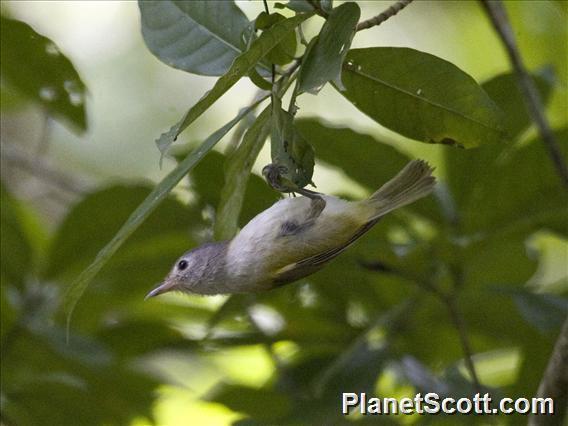Lesser Greenlet (Pachysylvia decurtata)