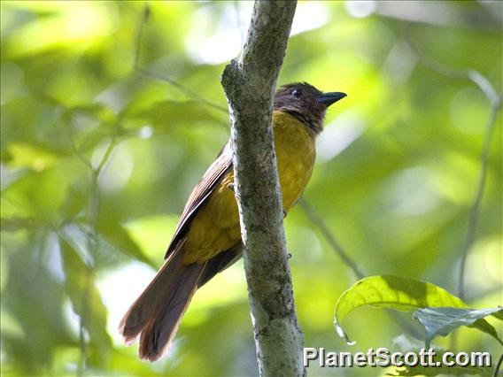 Black-throated Shrike-Tanager (Lanio aurantius) - Female