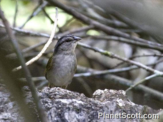 Green-backed Sparrow (Arremonops chloronotus)