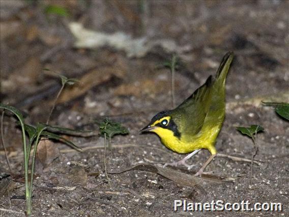 Kentucky Warbler (Geothlypis formosa)