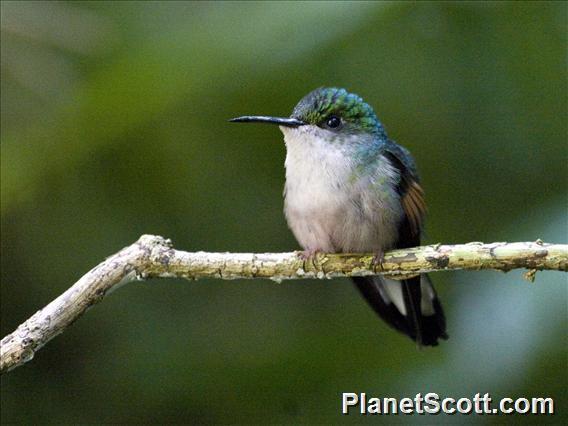 Stripe-tailed Hummingbird (Eupherusa eximia)