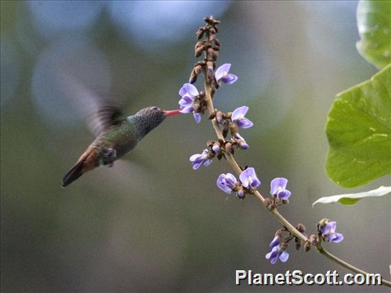 Rufous-tailed Hummingbird (Amazilia tzacatl)