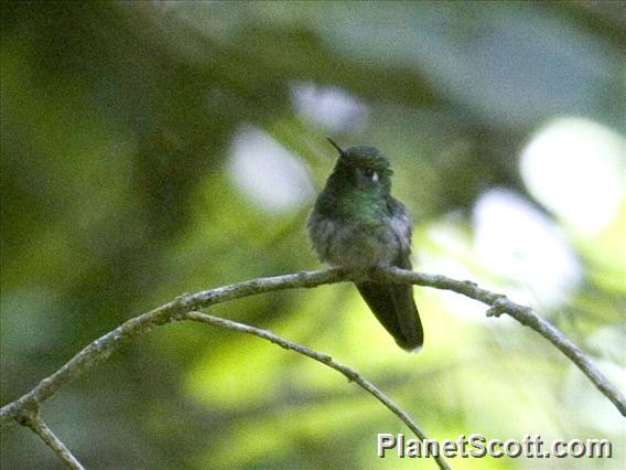 Emerald-chinned Hummingbird (Abeillia abeillei)
