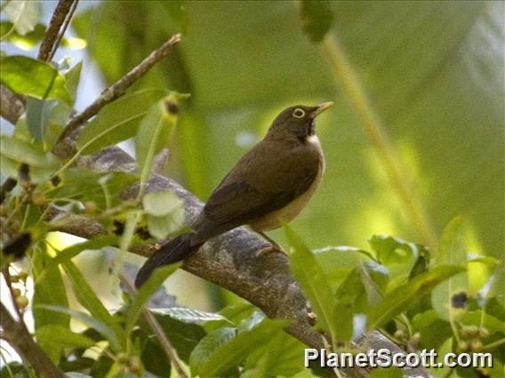 White-throated Thrush (Turdus assimilis)