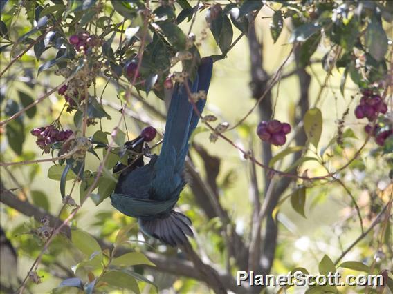 Bushy-crested Jay (Cyanocorax melanocyaneus)