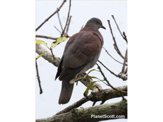 Pale-vented Pigeon (Patagioenas cayennensis)