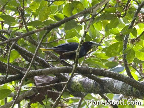 Chestnut-headed Oropendola (Psarocolius wagleri)