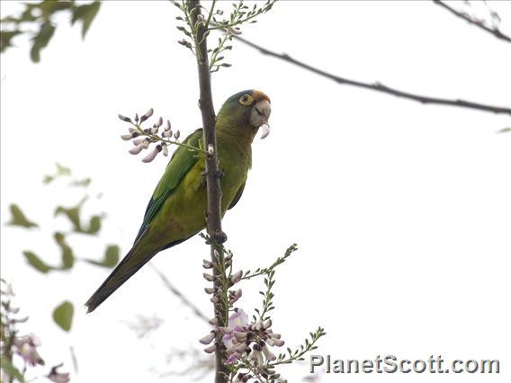 Orange-fronted Parakeet (Aratinga canicularis)