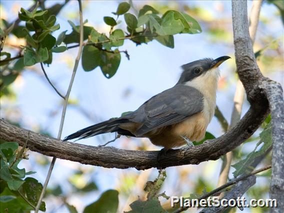 Mangrove Cuckoo (Coccyzus minor)