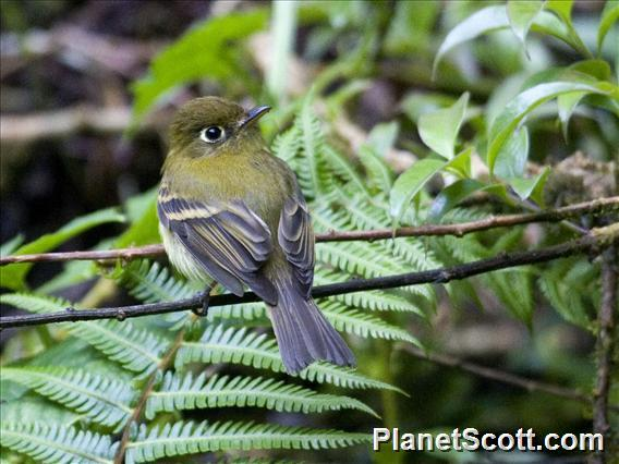 Yellowish Flycatcher (Empidonax flavescens)