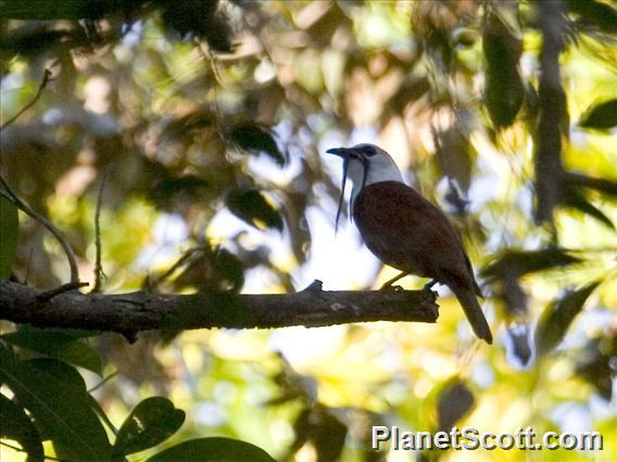 Three-wattled Bellbird (Procnias tricarunculatus)