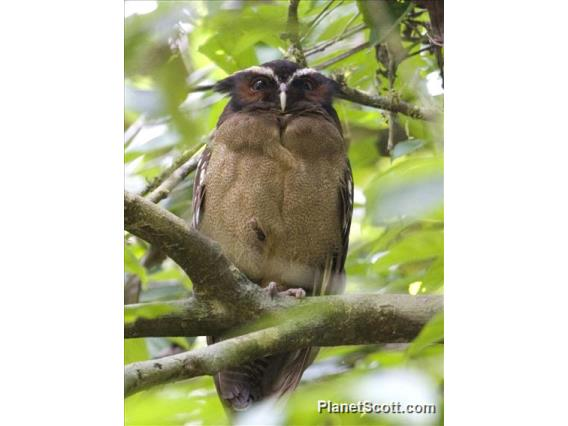 Crested Owl (Lophostrix cristata)