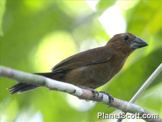 Blue-black Grosbeak (Cyanoloxia cyanoides)