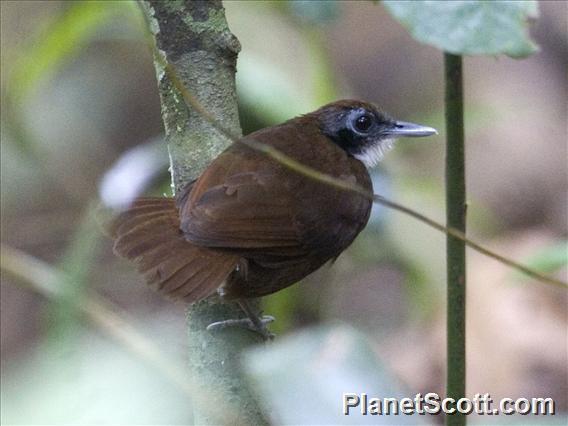Bicolored Antbird (Gymnopithys bicolor)