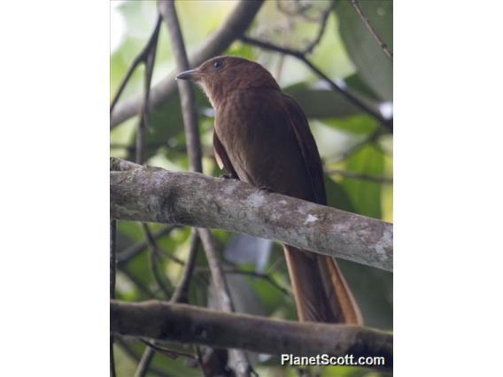Rufous Piha (Lipaugus unirufus)