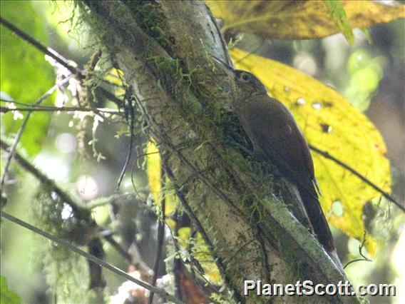 Long-tailed Woodcreeper (Deconychura longicauda)