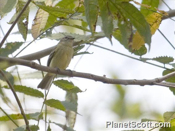 Mouse-colored Tyrannulet (Phaeomyias murina)