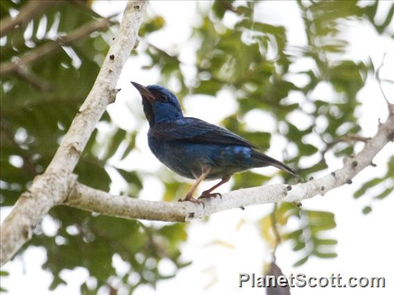 Blue Dacnis (Dacnis cayana) - Male