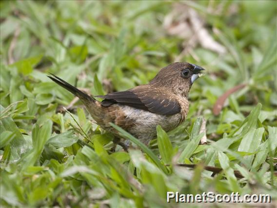 White-rumped Munia (Lonchura striata)