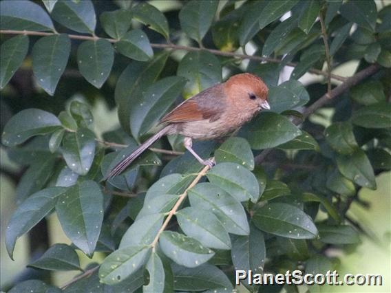Vinous-throated Parrotbill (Sinosuthora webbiana)