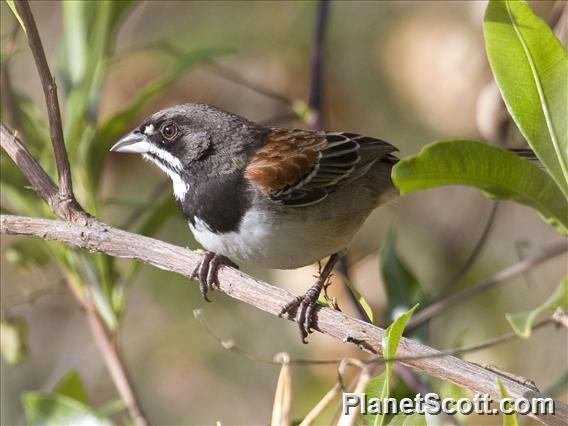 Black-chested Sparrow (Aimophila humeralis)