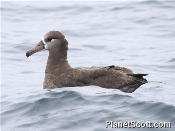 Black-footed Albatross (Diomedea nigripes)