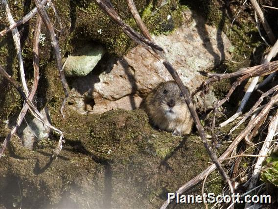 Lemming (Lemmus nigripes)