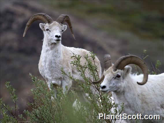 Dall's sheep (Ovis dalli)