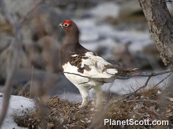 Willow Ptarmigan (Lagopus lagopus)