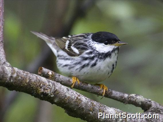 Blackpoll Warbler (Setophaga striata)
