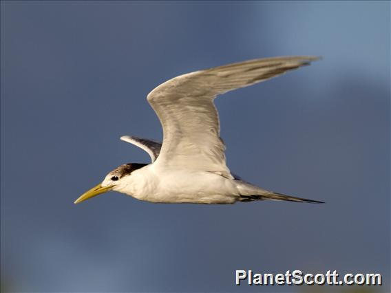 Great Crested-Tern (Thalasseus bergii)
