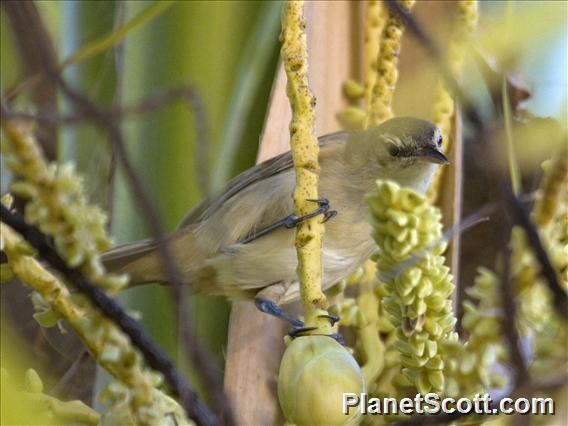 Tuamotu Reed-Warbler (Acrocephalus atyphus)