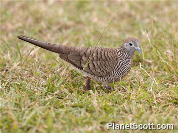 Zebra Dove (Geopelia striata)