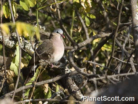 Blue-spotted Wood-Dove (Turtur afer)