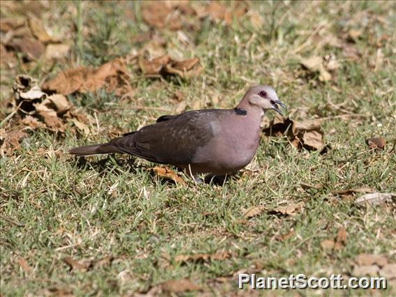 Red-eyed Dove (Streptopelia semitorquata)