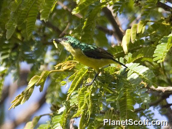 Collared Sunbird (Hedydipna collaris)