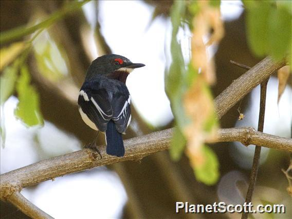 Brown-throated Wattle-eye (Platysteira cyanea)