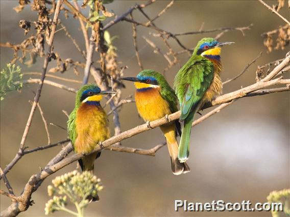 Blue-breasted Bee-eater (Merops variegatus)