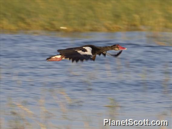 Spur-winged Goose (Plectropterus gambensis)