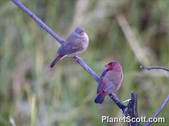 Red-billed Firefinch (Lagonosticta senegala)
