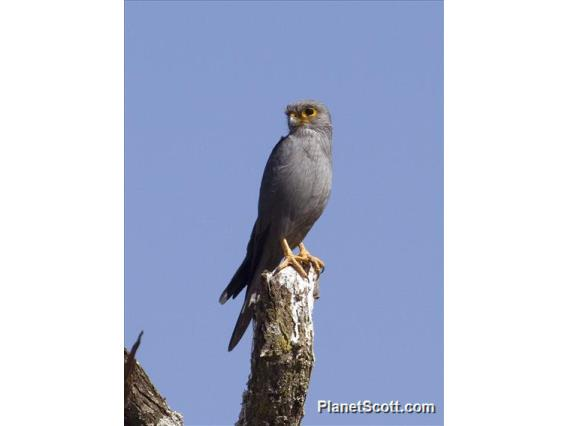 Gray Kestrel (Falco ardosiaceus)