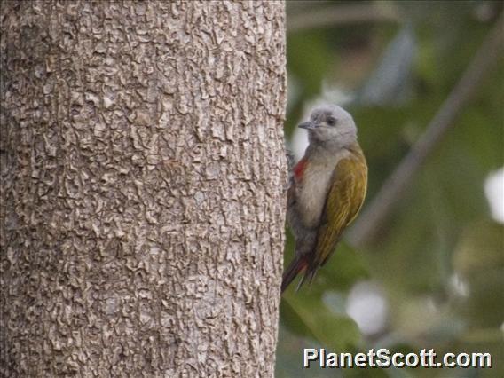 Mountain Gray Woodpecker (Chloropicus spodocephalus)