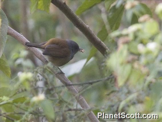 African Hill-Babbler (Illadopsis abyssinica)