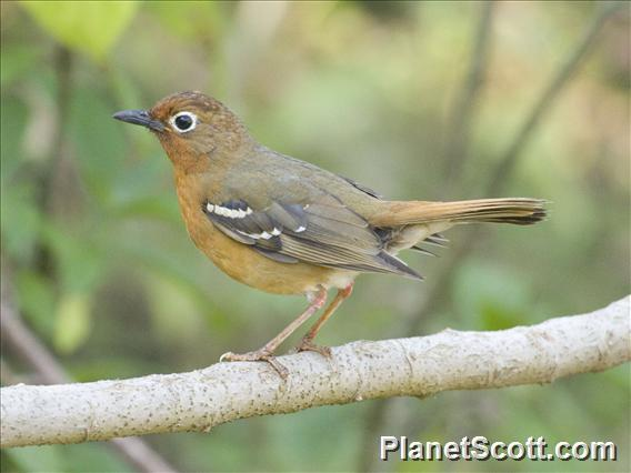 Abyssinian Ground-Thrush (Geokichla piaggiae)