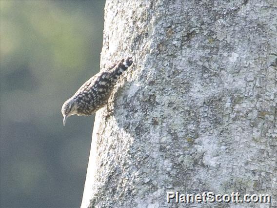 African Spotted Creeper (Salpornis salvadori)