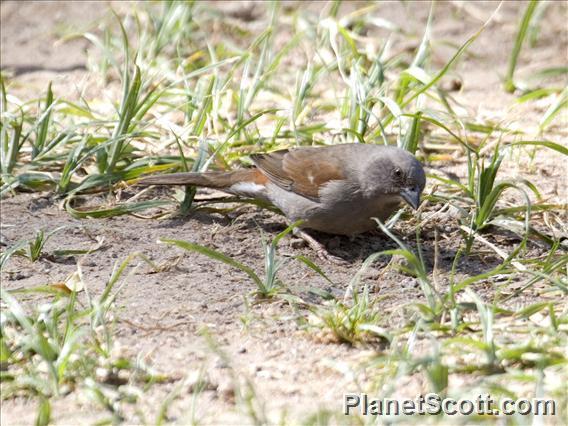 Swainson's Sparrow (Passer swainsonii)